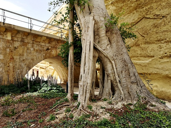 valletta ditch garden tree